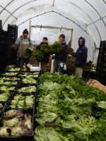 Packing Lettuce--Giant Cooler