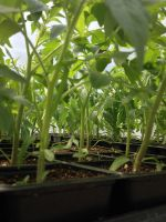 Earliest Tomatoes ready for Hi-Tunnel Transplant