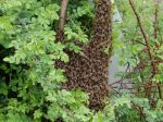 Late April Swarm