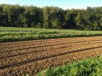 New Turnips; Green Fields; Blue Sky