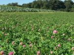 Red Clover SO Field