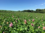 Red Clover Blue Sky Broccoli
