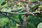 Apple Buds in the Fall
