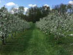 Trelised Apples in Bloom