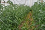 Hi Tunnel tomatoes w/chard between
