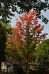 New Red Maple