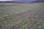 Rye covering Cabbage/Broccoli Field