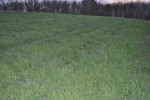 Rye/Vetch in steep Zuc and Cuc Field