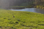 Canadian goose at pond in spring