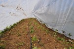 Newly Grafted Apples Covered to Keep Locusts out
