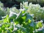 Frosty Arugula in morning Sunlight