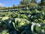 North field: Cabbage and broccoli