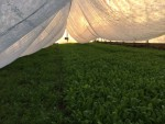 Rowcover Tent over Arugula inside Hi Tunnel