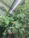 Blackberries in solar panel shaddow