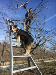 Molly Climbs Ochard Ladder; Do we need set of doggie pruning tools?