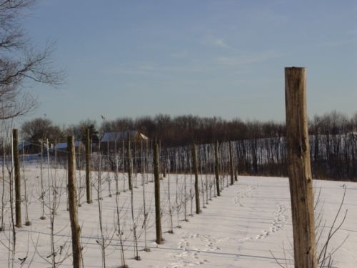 The new trelised apple orchard in the snow.  Deer: Keep out!