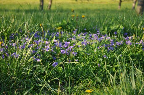 Violets in the Orchard