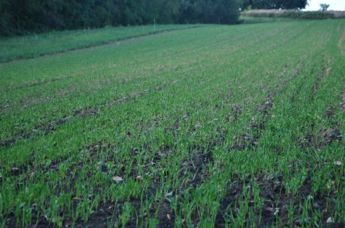 Peas/Oats Cover Crops