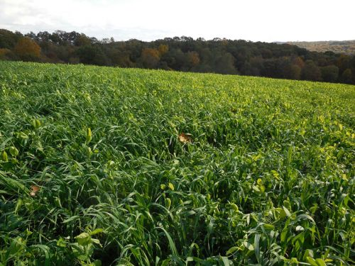 Peas n Oats, Cover Crops
