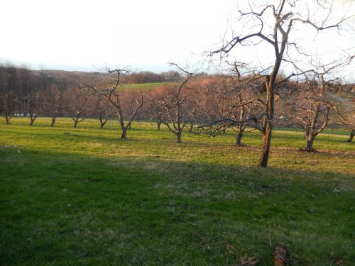Late light on early spring orchard