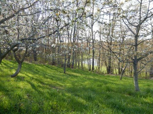 Lower Orchard April 29