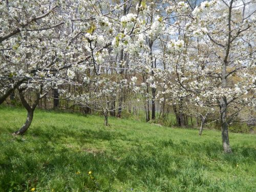 Lower Orchard May 1