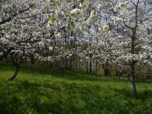 Lower Orchard May 2