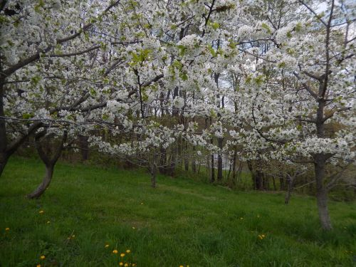 Lower Orchard May 3