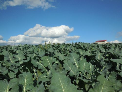 Broccoli Plants & Blue Sky