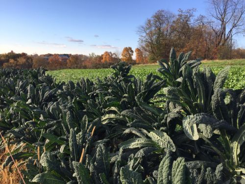 Tuscan Kale/cover crop