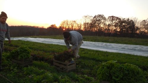Angel & Daniel picking lettuce as dusk