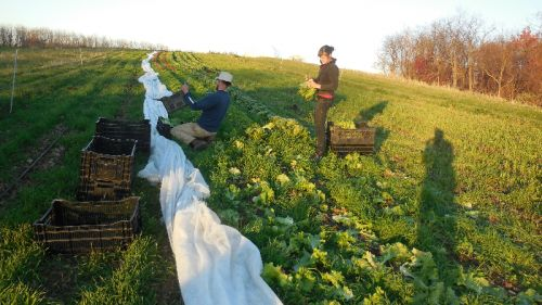 Last Lettuce Picking