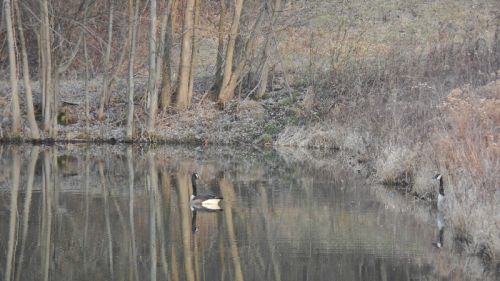 Geese reflections