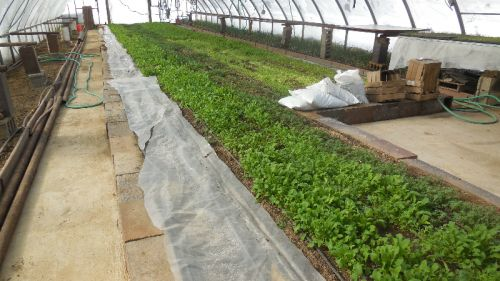 Mesclun in Greenhouse