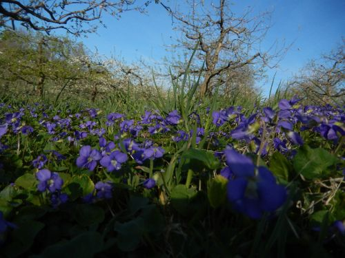 Violets in Orchard