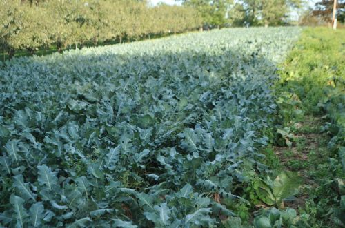 Broccoli Field near Liberty Apples