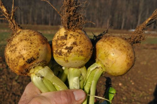 Turnips in January!