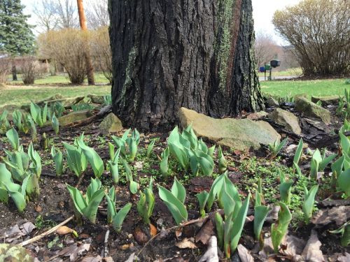 March Tulips popping up