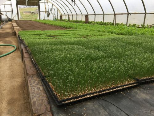 Onion Seedlings, Parsley, Mesclun