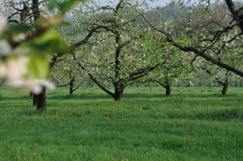 Green Meadow;apple bloom