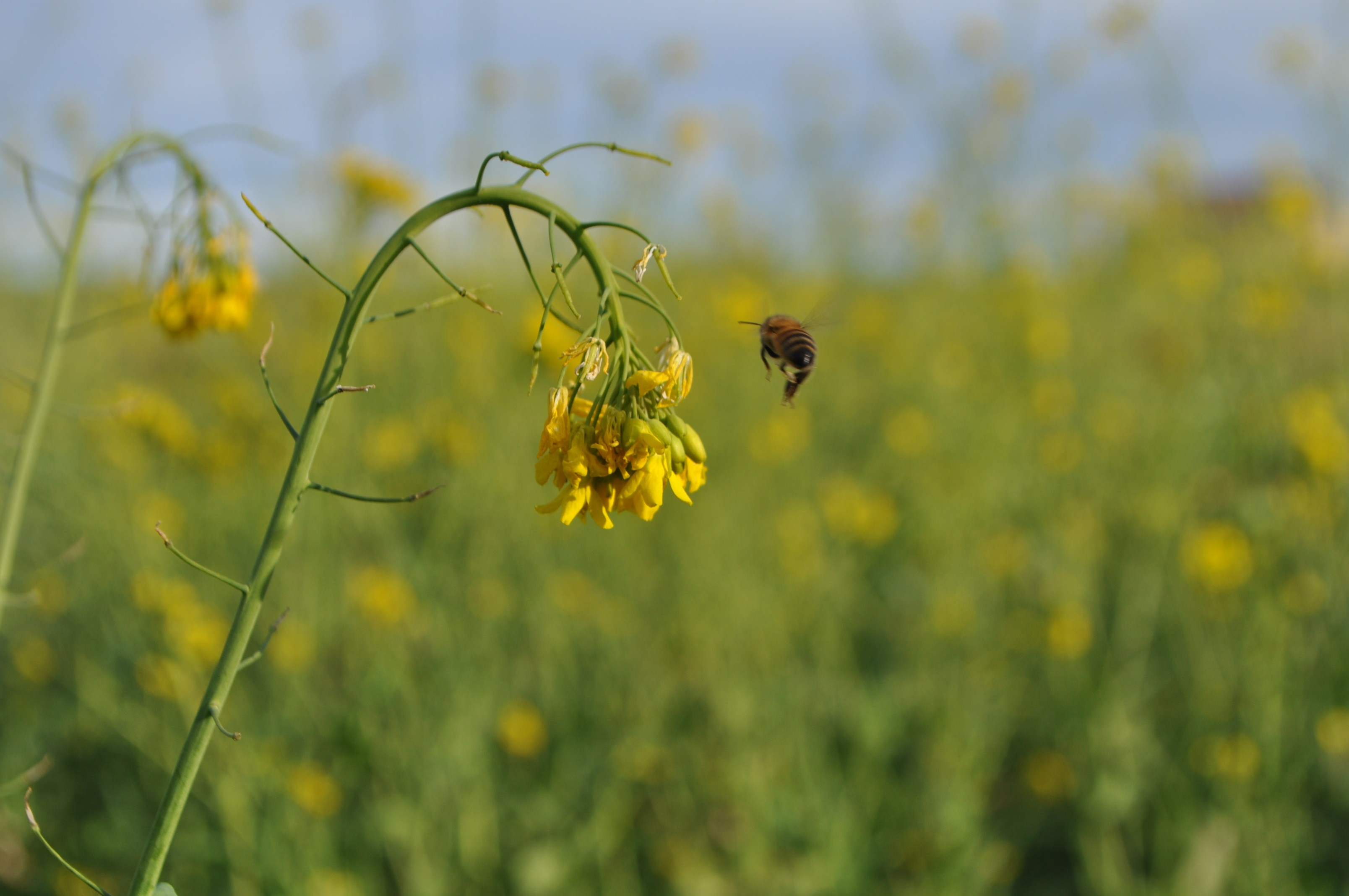 Make honey while the sun shines and the flowers bloom--November wild mustard