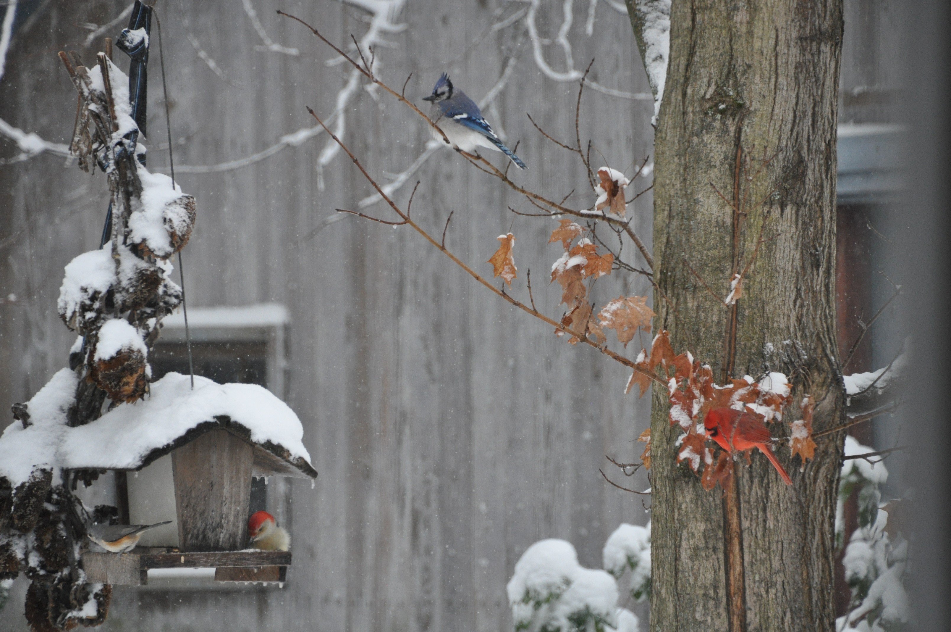 Titmouse, Red bellied, Jay, Cardinal, Christmas '20