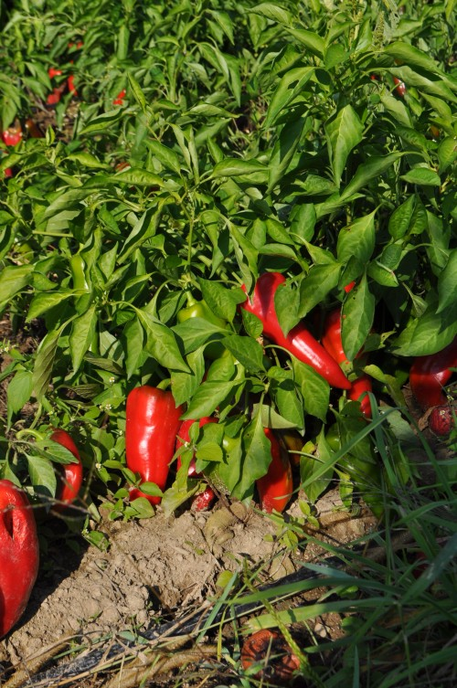 Carmen Red Peppers