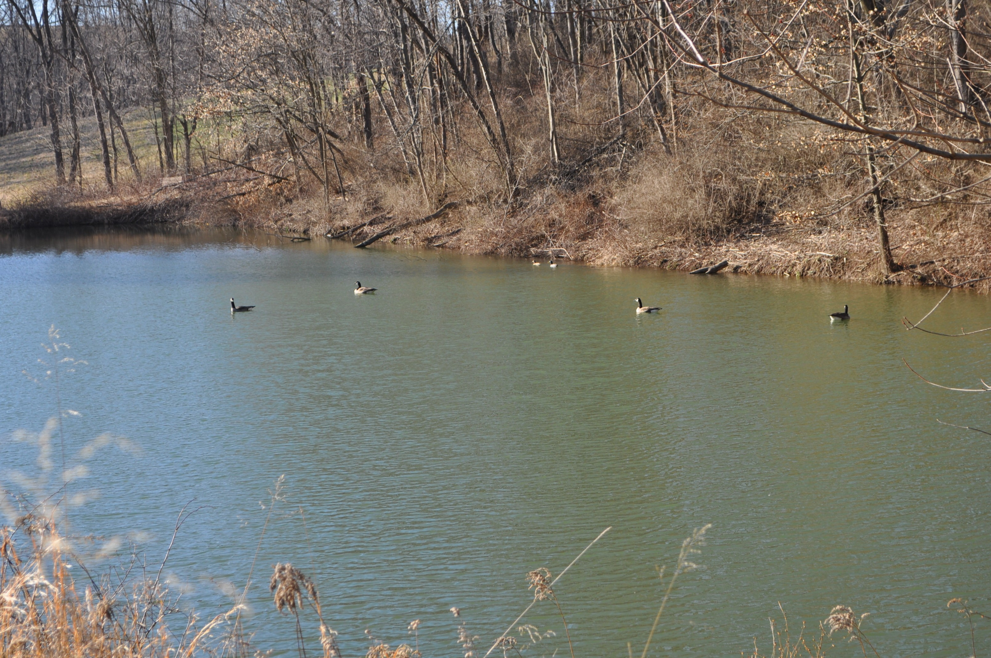 Quacks at the pond