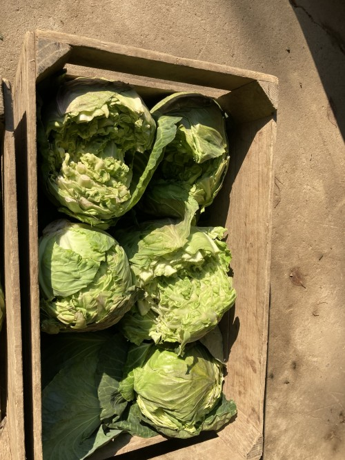Kraut Cabbage