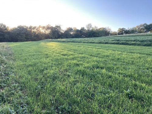 Rye Cover Crop in Acorn Squash Field at Sunset