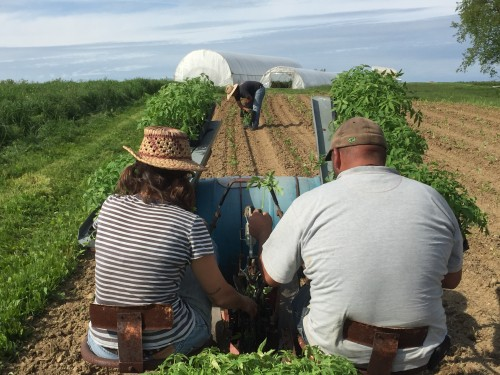 Field Transplanting the first Tomatoes '17