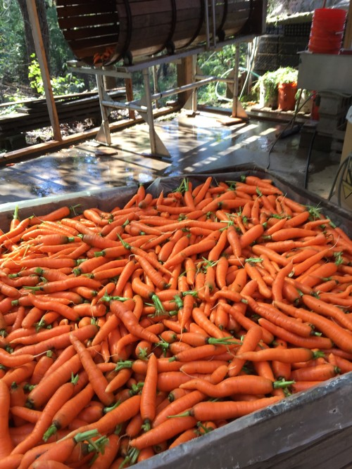 Tons of New Carrots