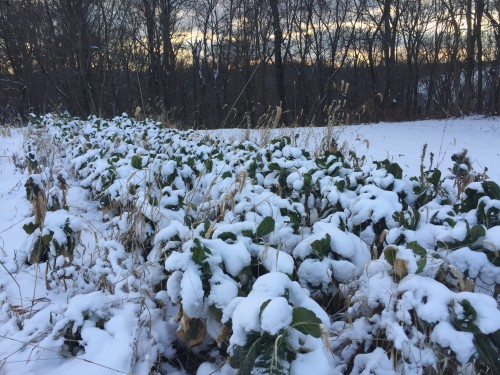 Collards in the field at Christmas
