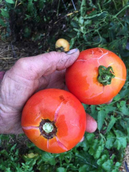 Cracking Tomatoes